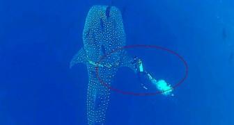 Um mergulhador nota algo estranho em um enorme tubarão. Em poucos segundos irá salvar a sua vida!
