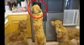 Diese Hunde haben entdeckt, wie die Eismaschine funktioniert. Und sie denken an nichts anderes mehr