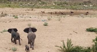 Deze wilde honden hebben hun zinnen gezet op het olifantenkalfje, maar dan moeten ze eerst langs mama...
