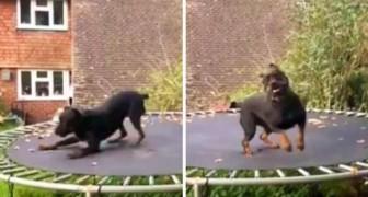 Un rottweiler sale per la prima volta sul trampolino: mai vista tanta euforia!