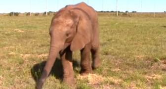 Dit olifantje is in de steek gelaten door zijn moeder, maar hij is niet lang alleen...