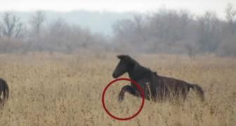 Un cheval a les pattes avant liées et ne peut pas galoper: voici comment il a été libéré
