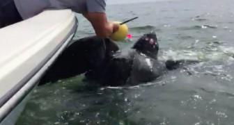 Una tartaruga gigante è stretta in un cappio mortale, ma due uomini si mettono in azione