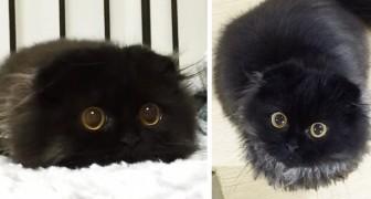 Il gatto con gli occhi più grandi del mondo: non riuscirete a smettere di fissarlo