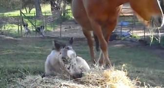 Un puledro gioca sul fieno, ma quando si alza guardate il suo manto... wow!