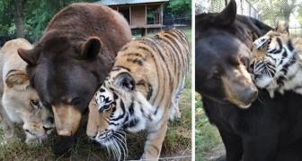 Een beer, een tijger en een leeuw: dit drietal is al 15 jaar onafscheidelijk