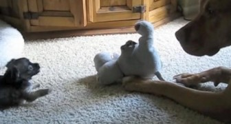 Een geduldige pitbull en een radeloze kat proberen te spelen met een chihuahua: dit levert schattige beelden op!