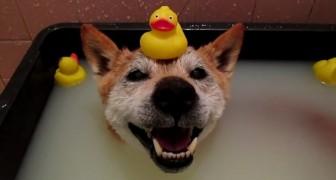 Un anziano cane si gode un bagno caldo: la sua espressione soddisfatta è uno spasso