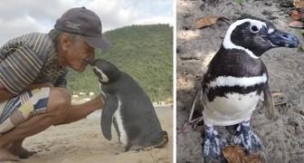 Ein Pinguin schwimmt jedes Jahr 8000km um den Mann zu besuchen, der ihm das Leben gerettet hat