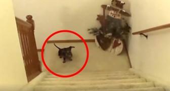 Una donna chiama il suo bassotto: il modo in cui lui sale le scale è ESILARANTE