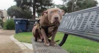 Ein blinder Pitbull wird auf einer Bank verlassen: Aber jemand findet ihn