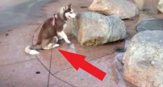 Questo cane si siede nel posto sbagliato al momento sbagliato! Guardate cosa accade...