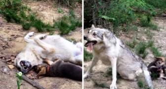 Un lupo incontra un cucciolo di pastore tedesco... Guardate come reagisce