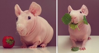 Un cochon d'Inde skinny pose tout nu pour la séance photo la plus adorable qui soit