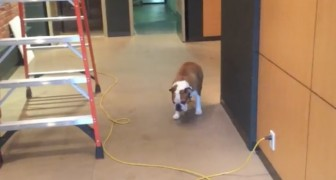 This dog is afraid to cross over a cable cord --- but the solution that he finds is pure genius!
