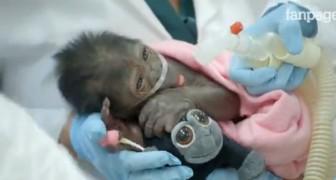 Dit aapje werd geboren na een spoedkeizersnede: wat hij doet met het knuffeldier ontroert de artsen