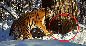 Deze tijger werd vrijgelaten in het wild: de camera's ontdekken een tijdje later iets bijzonders!