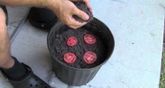 Put some slices of tomato in a flower pot - here is what happens after 10 days!
