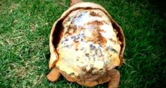 Een schildpad verloor zijn schild in een brand, maar de dierenartsen hebben een wonder verricht