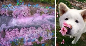 17 foto della magnifica fioritura dei ciliegi giapponesi firmate National Geographic