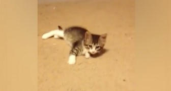 A kitten is playing on the carpet --- but then someone shows up and everything changes!