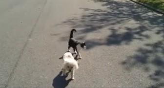 Un barboncino non vedente cammina in strada, ma prestate attenzione al gatto...