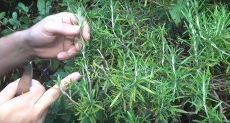 Grow you own rosemary plant --- right at home! Check it out!