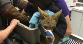 Deze blinde coyote werd gered... een paar dagen later had het dier een verrassing in petto voor haar redders