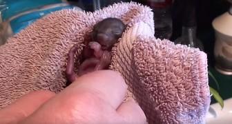 Hij heeft twee in de steek gelaten eekhoorntjes gevonden: hier zie je hoe ze deze probeert groot te brengen. Wow!