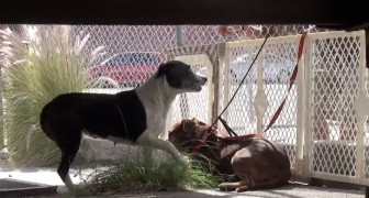 Capturing these two homeless pit bulls seemed impossible -- But watch what happens!