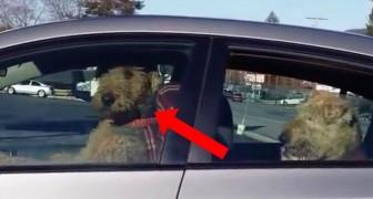 Någon lämnar några hundar i bilen, titta noga på hunden som sitter på framsätet... Wow!