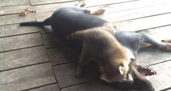 Un orsetto lavatore 'attacca' un cane... Ma le sue intenzioni sono in realtà molto dolci