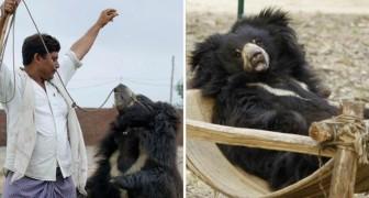 Hanno vissuto anni terribili in un circo, ma ora per 19 orsi inizia una nuova vita