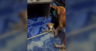A dog shows his friend how to take possession of its owner's bed! --- So cute!