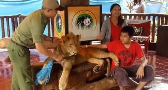 Due turisti si scattano una foto: poco dopo lo stato del leone svelerà un'agghiacciante verità