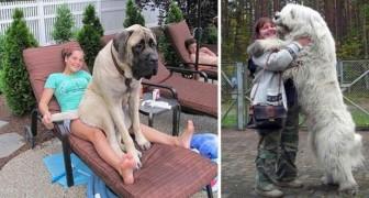 Schattige foto's van een aantal gigantische honden, die niet beseffen dat ze gigantisch zijn!