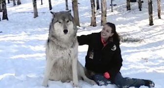 Un loup géant s'assied à côté de lui: regardez ce qu'il se passe dès qu'elle le caresse ...
