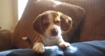 La sua padrona ulula... la reazione del beagle vi farà sciogliere il cuore