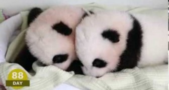 the first 100 days of 2 little pandas