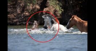 Een merrieveulen dreigt te verdrinken in de rivier: de reactie van de leider van de kudde is bewonderenswaardig!