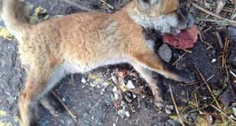 Trovano una piccola volpe e la credono morta, ma un medico decide di tentare l'impossibile