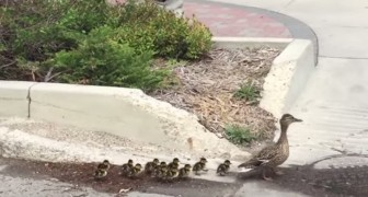 Deze eend doorkruist de stad met haar 12 jongen, onder begeleiding van speciale lijfwachten...