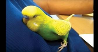 Voilà ce que fait CHAQUE SOIR ce perroquet pour s'endormir... adorable!