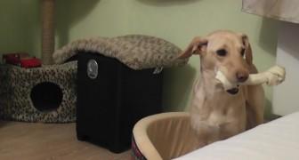 Vuole nascondere il suo osso alla vista del gatto: la sua odissea è infinita!