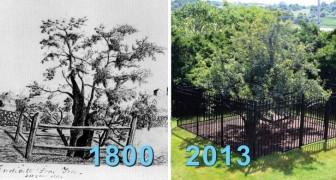 È sopravvissuto a 400 freddi inverni: ecco a voi l'albero da frutto più vecchio d'America