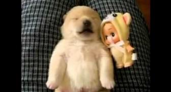 Deze schattige pup is aan het slapen, maar heeft het maar druk in zijn dromen!