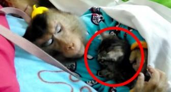Een aapje vindt een verdwaalde kitten en neemt het diertje mee: als je de twee samen ziet, smelt je hart!