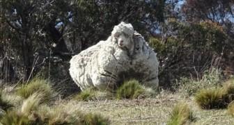 Ein Schaf entkommt der Herde: 5 Jahre später findet man es wieder mit 40 Kilogramm Wolle am Leib