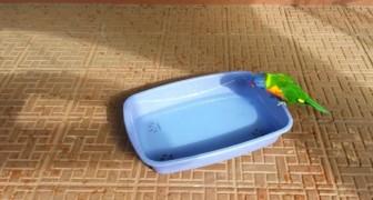 Een papegaai zit aan de rand van een bak met water... de manier waarop hij geniet van het water is aandoenlijk!