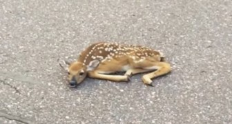 A baby deer lies motionless on the road --- See its reaction when it is picked up!